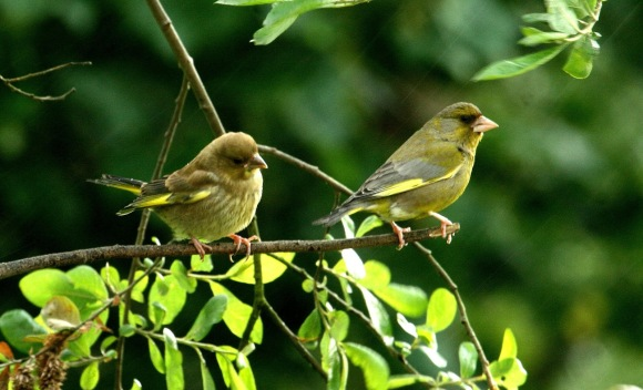 Image result for greenfinches